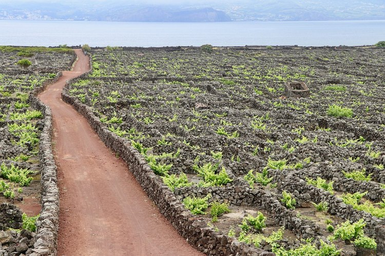 1024px-Landscape_of_the_Pico_Island_Vineyard_Culture_(50635196911)