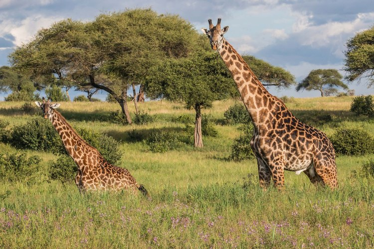 1599px-Giraffe_-_Tarangire_National_Park_-_Tanzania-5_(34724958650)