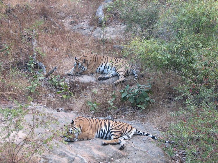 2_Tigers_Bandhavgarh_National_Park_Madhya_Pradesh_India