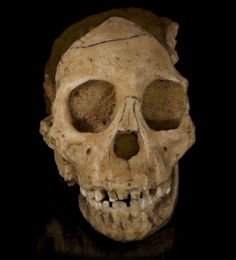 Australopithecus_africanus_-_Cast_of_taung_child_Face