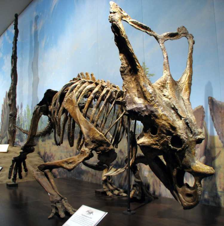 Chasmosaurus_belli_RTM_01