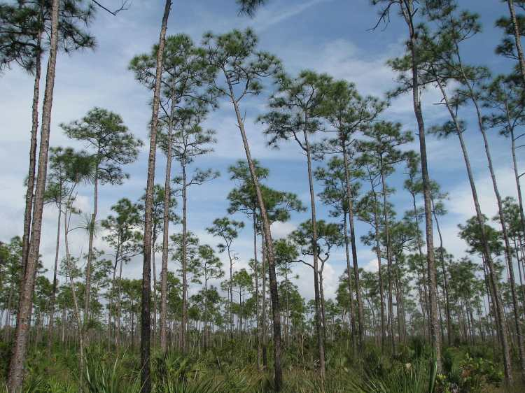 Everglades_Pinelands.jpg