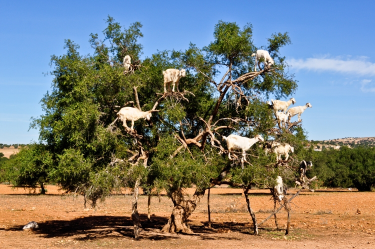 Goats_in_an_argan_tree_Morocco