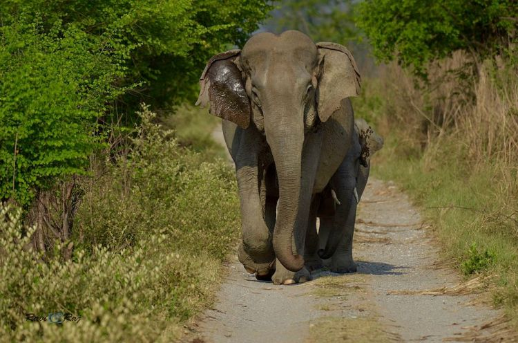 Indian_elephant_at_jim_corbett_national_park