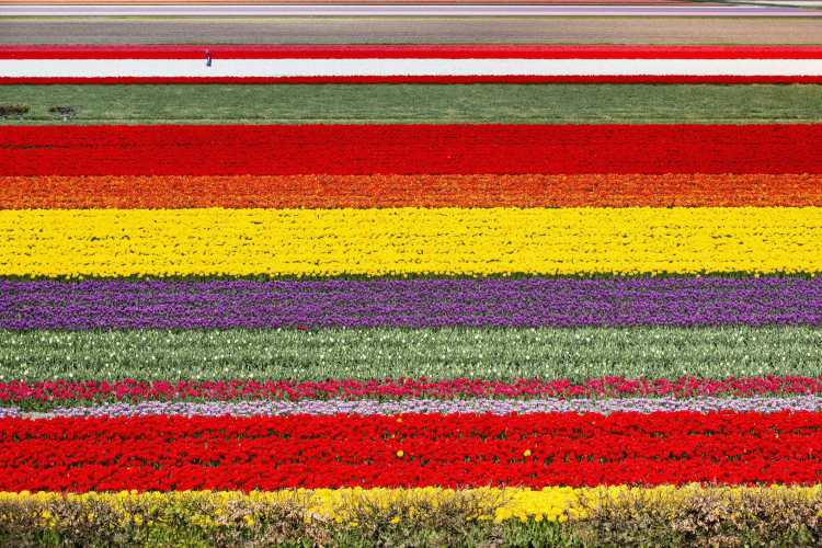 netherlands-lisse-fields-of-tulips-farmer-at-work-aerial-522192986-58e42b4d5f9b58ef7e6d2752.jpg