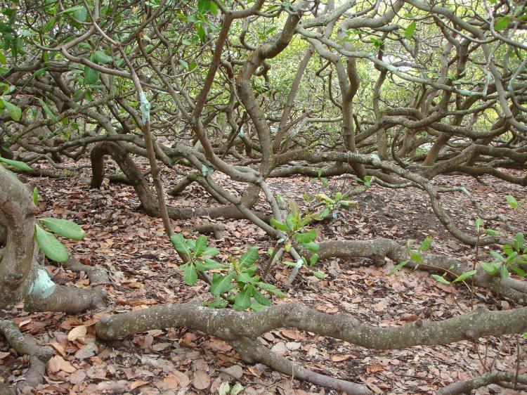 Pirangi_cashew_tree