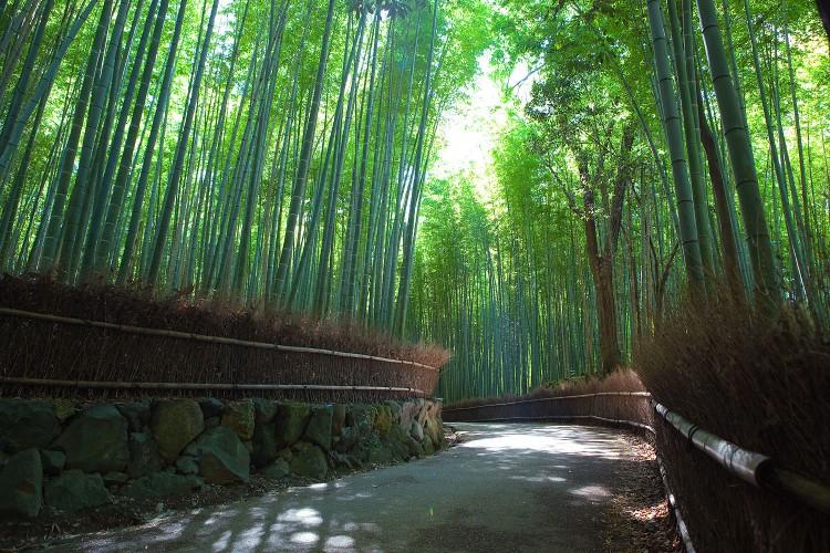Sagano_Bamboo_forest,_Arashiyama,_Kyoto