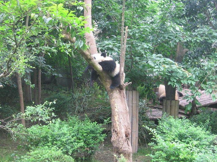 Sichuan_Giant_Panda_Sanctuaries