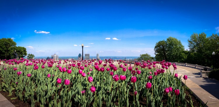 The_Mount_Royal_Park_and_its_tulips