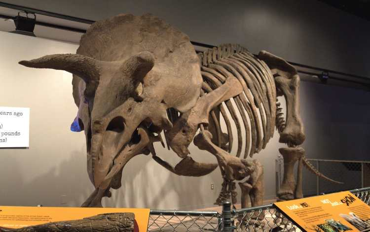 Triceratops_Skeleton_-_National_Museum_of_Natural_History_(14611729991)a.jpg