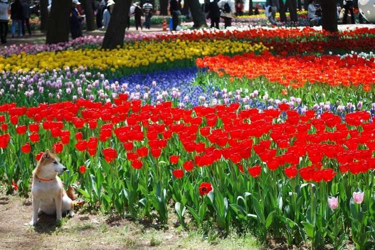 Tulips,Hitachi_Seaside_Park,Hitachinaka-city,Japan.JPG