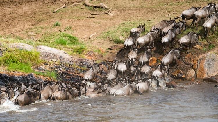 Wildebeests crossing Mara River, Northern Serengeti, Tanzania